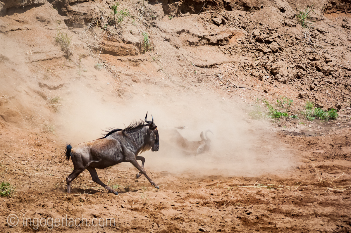 wildebeest jump to death_IWG4285