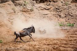 wildebeest jump to death_IWG4285