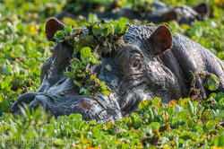 Flusspferd im Salat_IWG4463