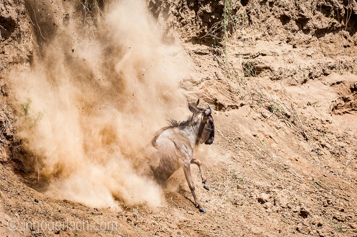 Gnu | Wildebeest_IWG4389