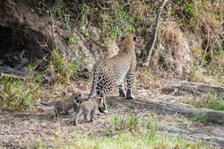 Mama Leopard mit ihren Babys_IG35748
