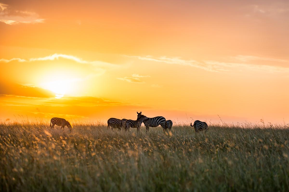 Zebras © Ingo Gerlach_D4N_6253