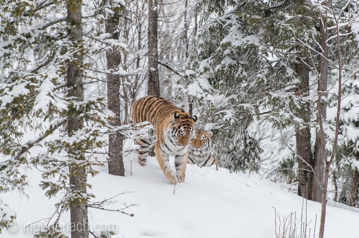 Sibirischer Tiger_IG34793