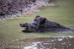 Wildschwein im Wasser_D4N8306