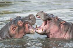 Hippos palavern_D3S7852