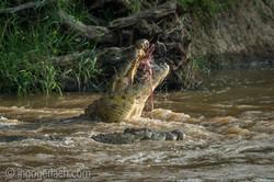 Krokodil frisst Zebra_D726669