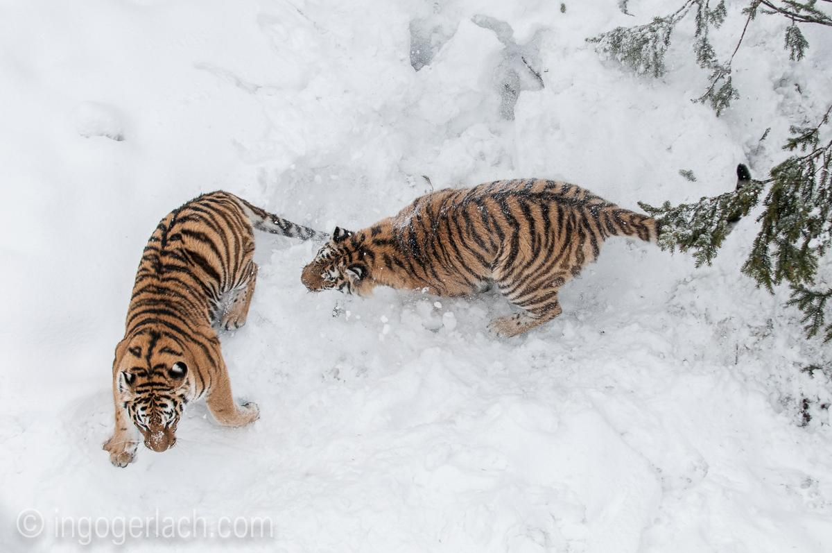 Sibirischer Tiger_IGB4192
