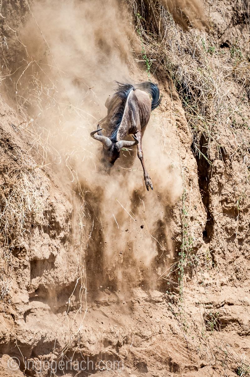 Gnu | Wildebeest_IWG4392