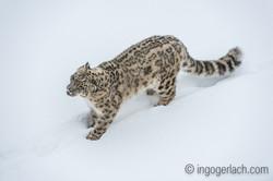 Schneeleopard_Snowleopard_D4N_6364