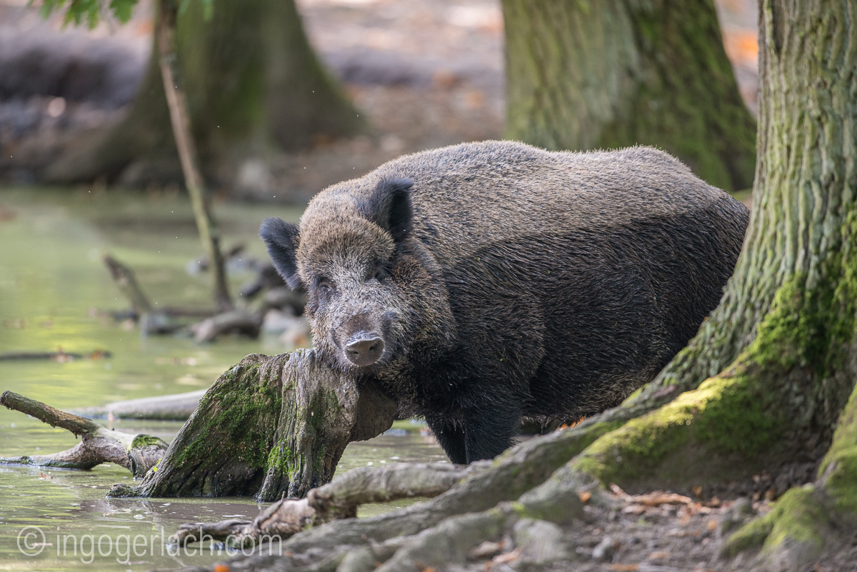 Wildschwein im Wasser_D8N2774