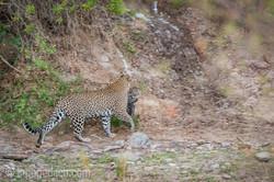 Mama Leopard mit ihren Babys_IG31289