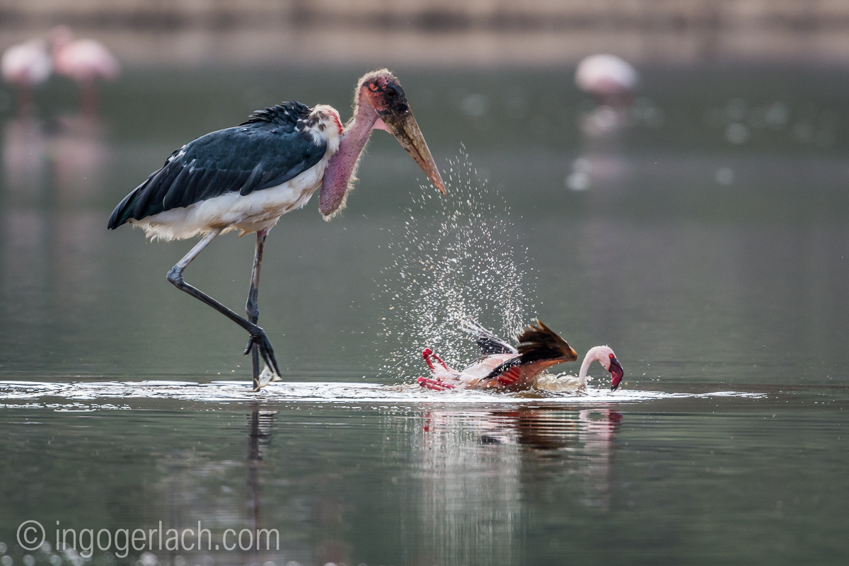 Marabu vs Flamingo_D722057