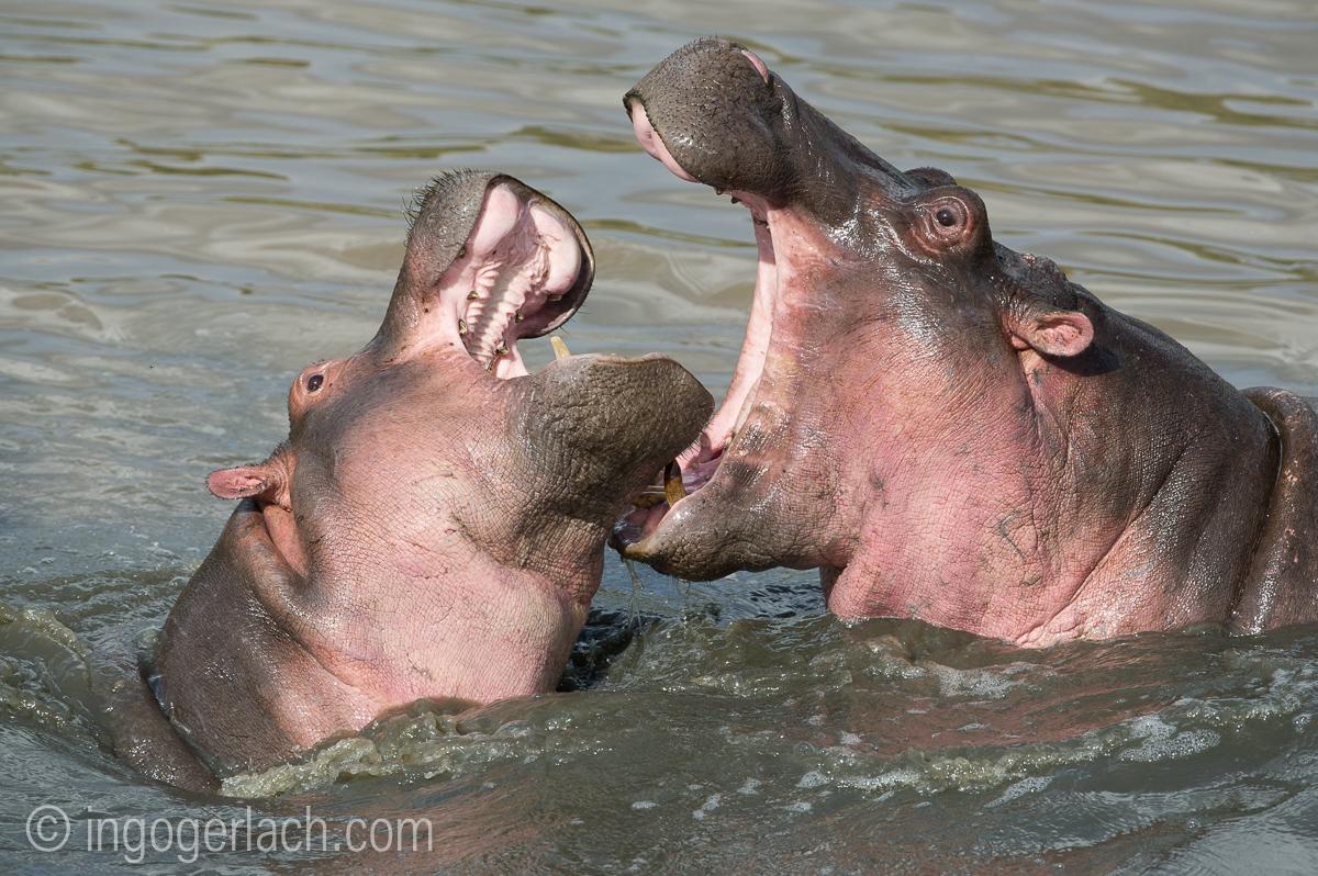 Hippos palavern_D3S7936