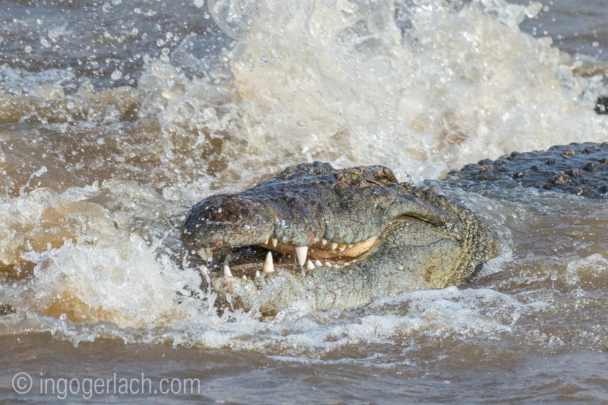 Kämpfende Krokodile_D726657