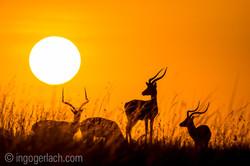 Impala at sunrise__D724742