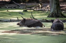 Wildschwein im Wasser_D4N7806