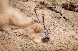 Gnu   Wildebeest_IWG4394