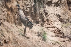 wildebeest jump to death_IWG4362