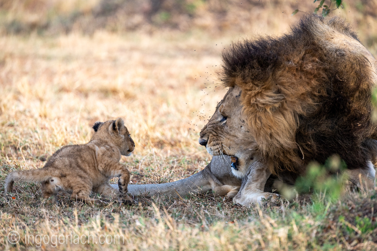 Löwenbabys ärgern ihren Papa. Baby lions annoy their dad.