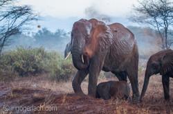 Elefanten im Regen_IGB7661