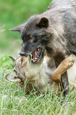 Timberwolf und Grauwolf_IGB8005