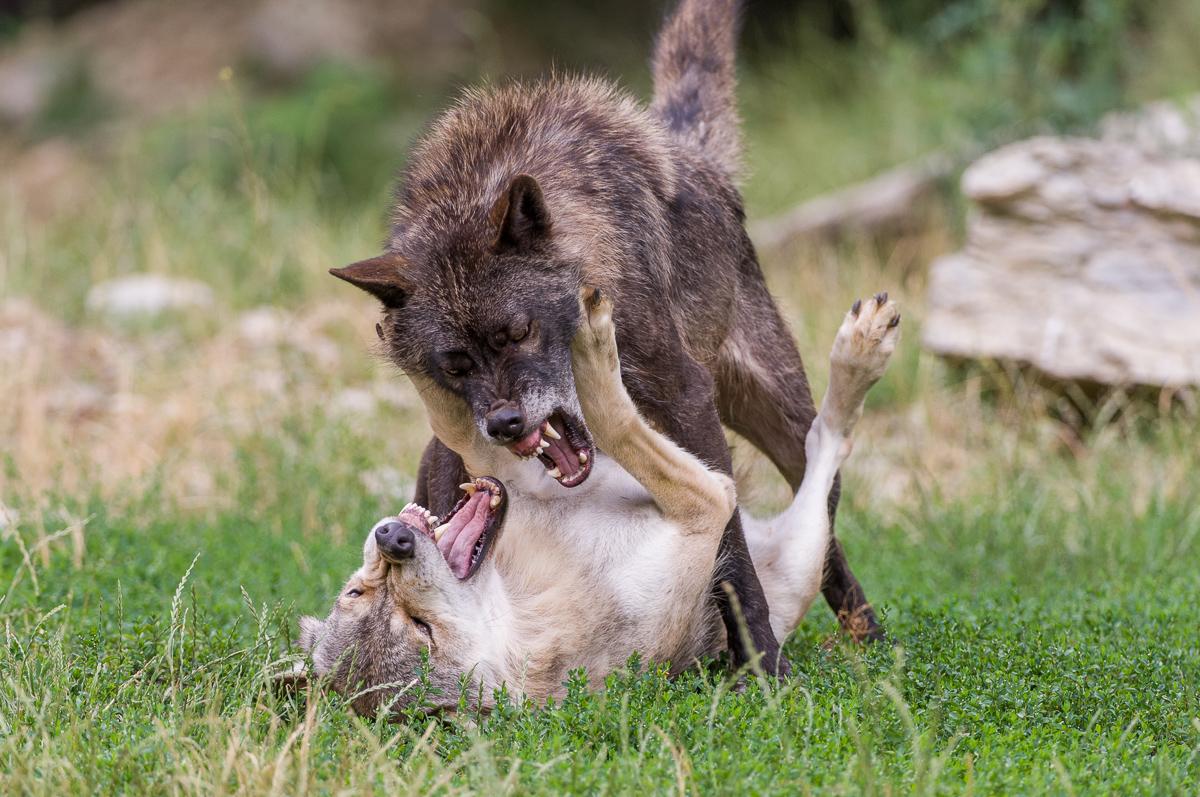 Wölfe © Ingo Gerlach_IGB8094