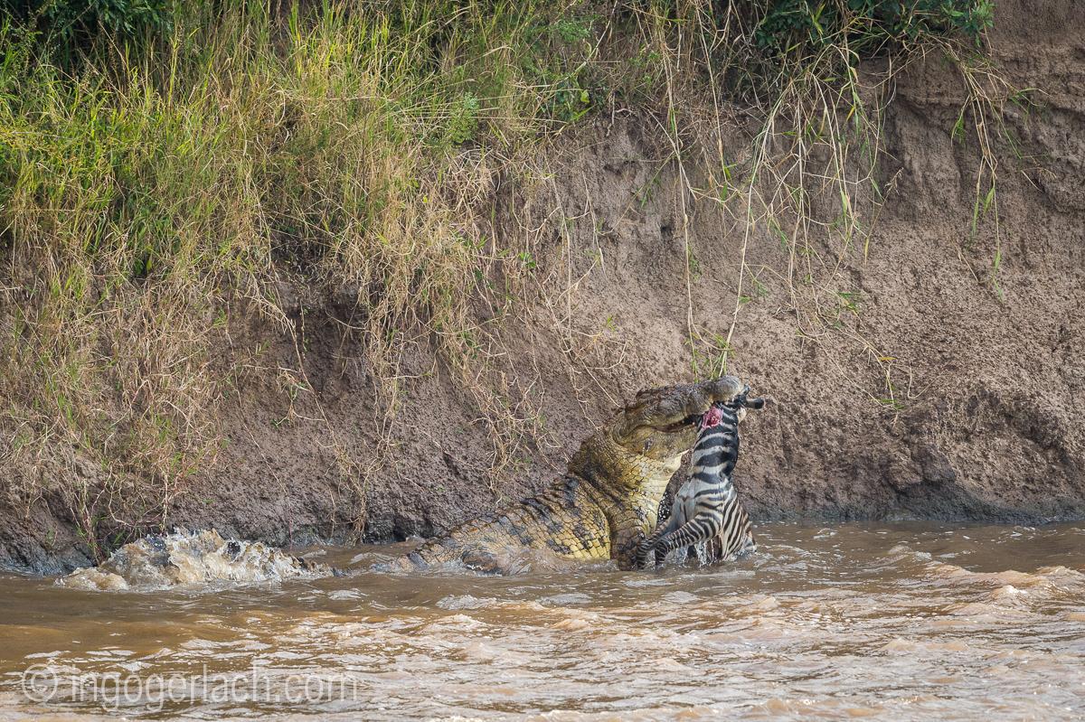 Krokodil frisst Zebra_D4N_5034