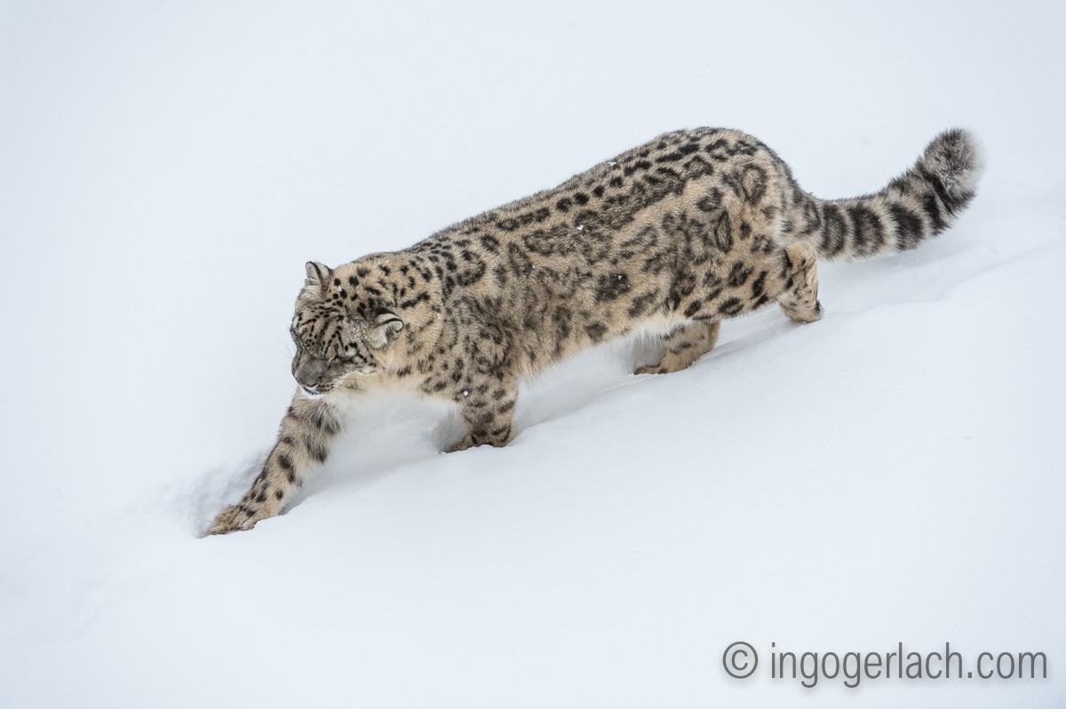Schneeleopard_Snowleopard_D4N_6344