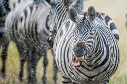 Zebra © Ingo Gerlach_D724713
