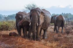 Elefanten im Regen_IGB7632
