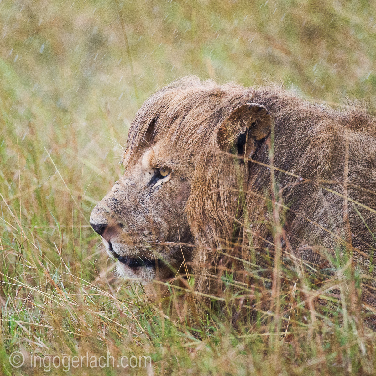 Löwen: Kampf der Giganten_D3S3937