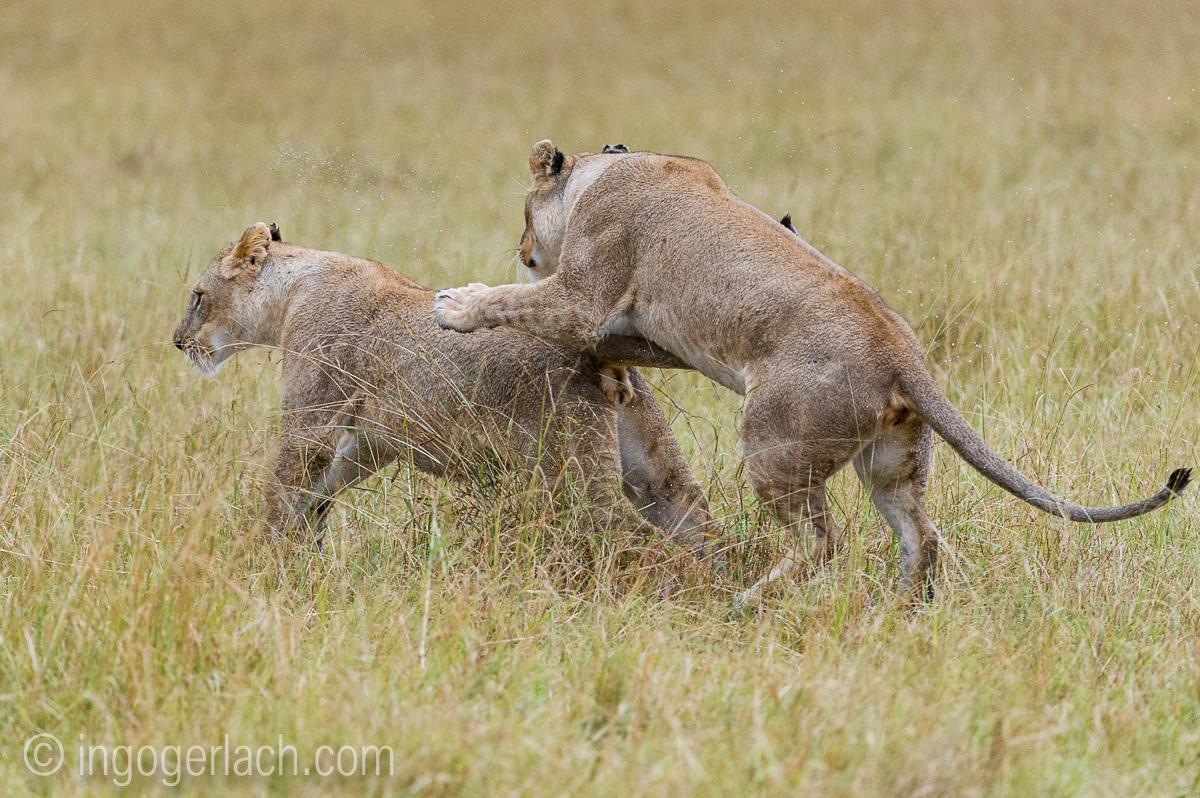 Löwen: Kampf der Giganten_D3S4040
