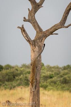 Leopard_D4N_0836