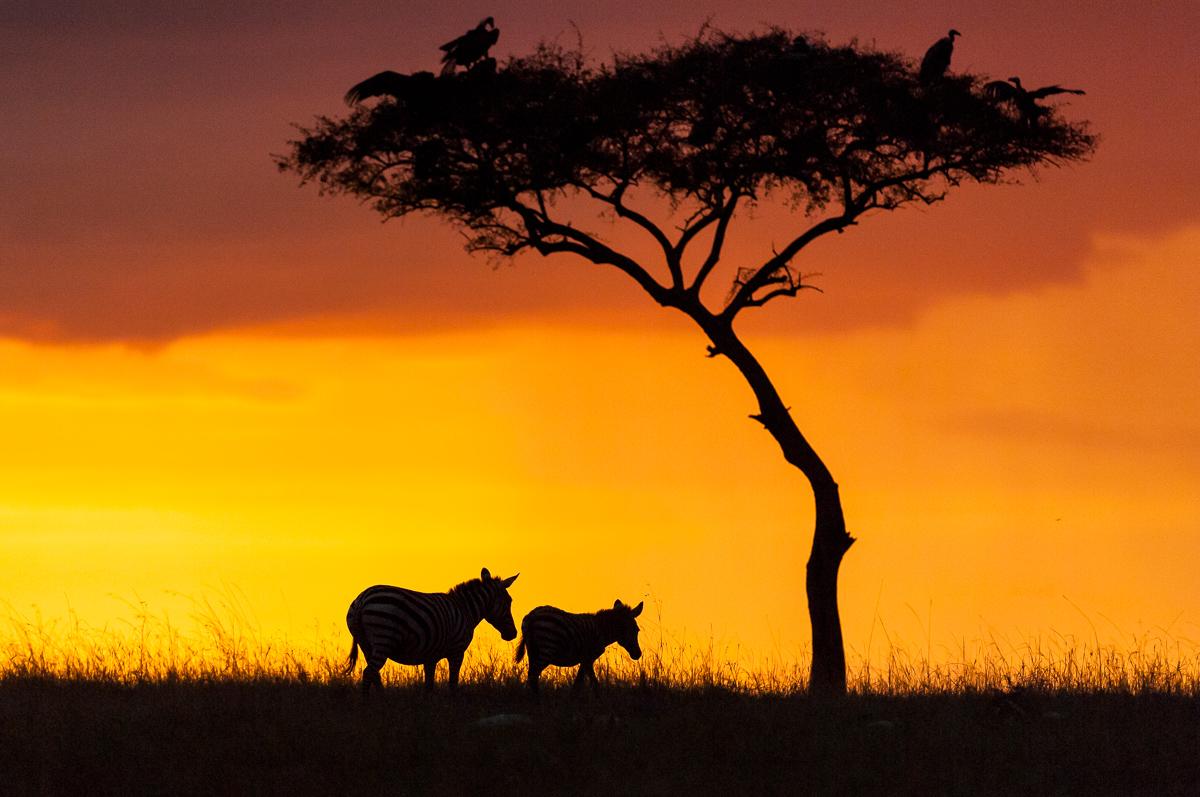 Zebras © Ingo Gerlach_IGB4751
