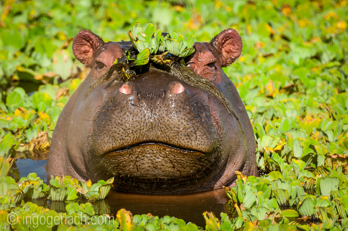 Flusspferd im Salat_IWG0548