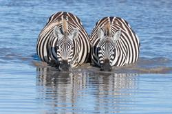Zebras © Ingo Gerlach_D4N_3514