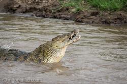 Krokodil frisst Zebra_D726841