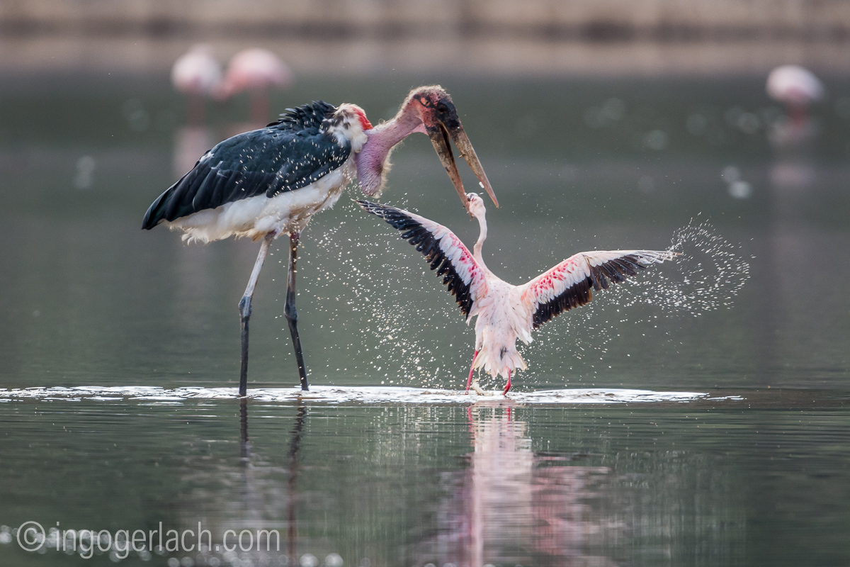 Marabu vs Flamingo_D722052