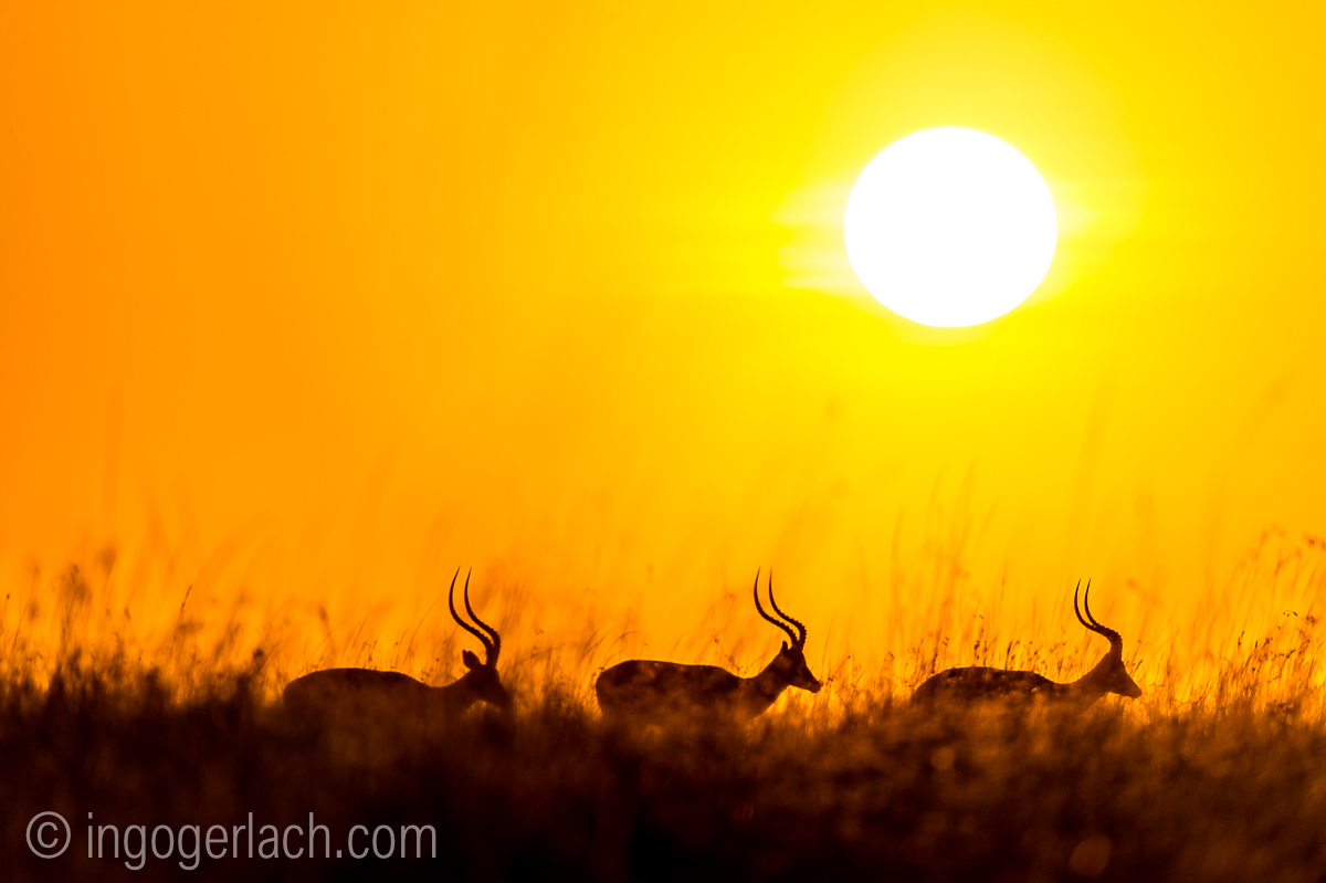 Impala at sunrise_D4N_2667