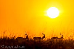 Impala at sunrise_D4N_2667