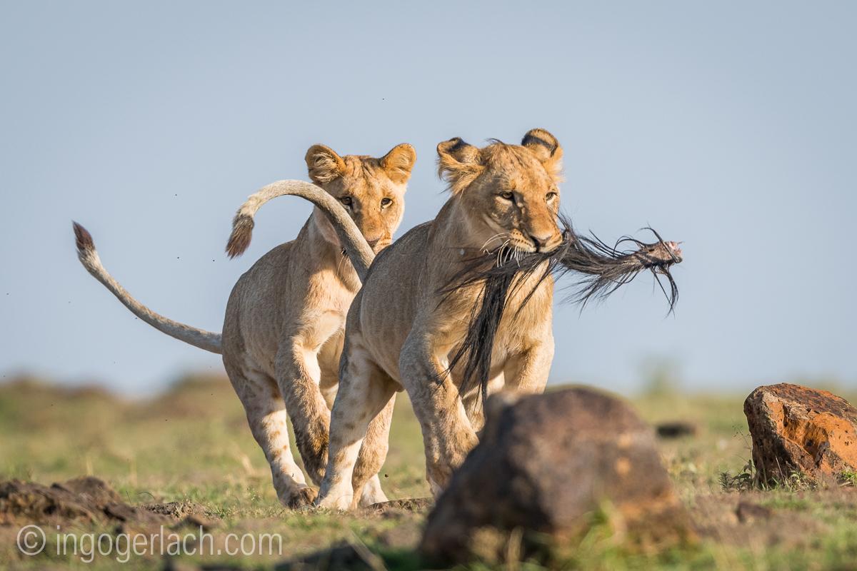 Löwenkids spielen mit Gnuschwanz.