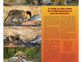 Meine Story Löwenpapa wird vom Nachwuchs geärgert in der Siegener Zeitung.