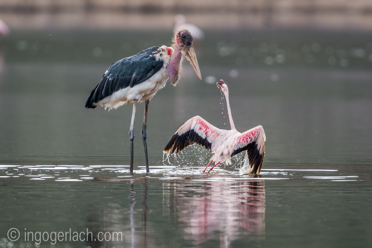 Marabu vs Flamingo_D722075