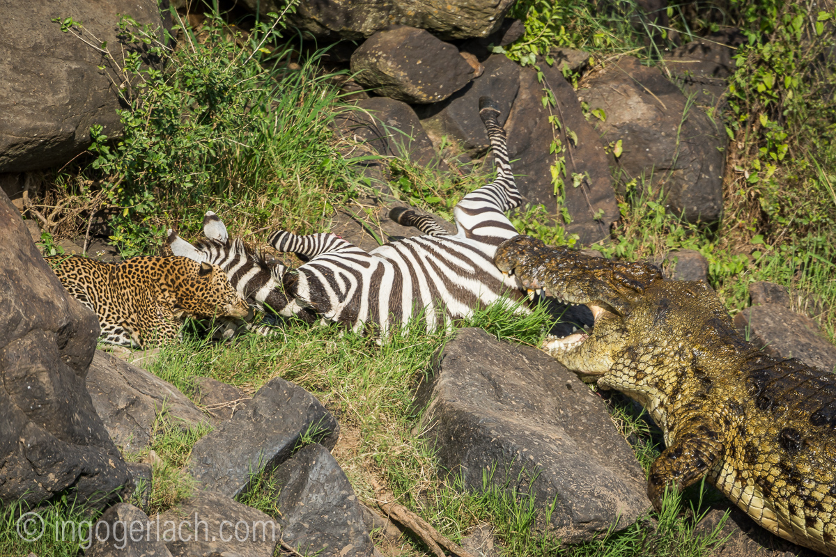 Leopard_Krokodil_Zebra__D726187