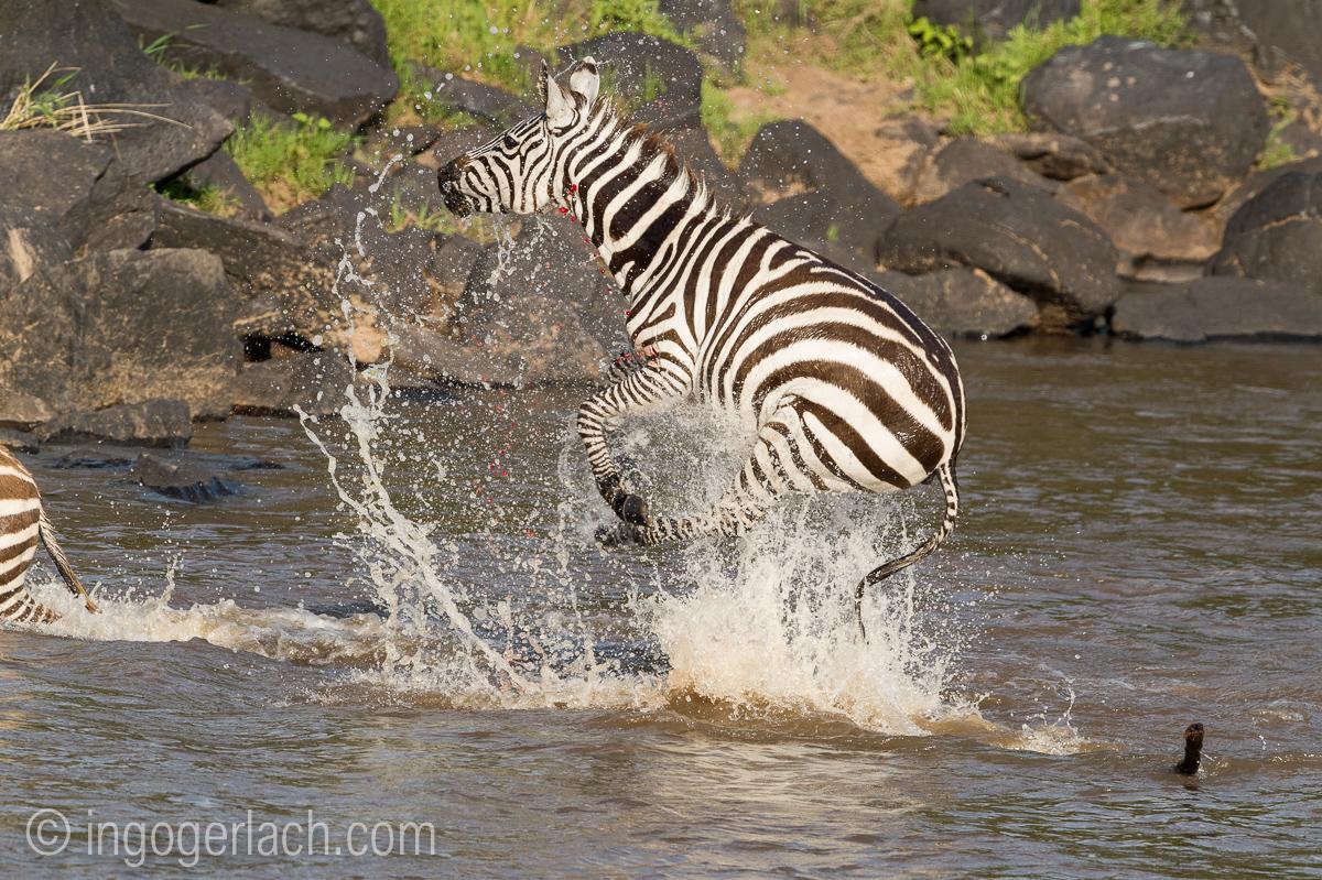 Leopard_Krokodil_Zebra_D4N_4375