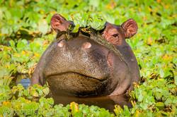 Flusspferd im Salat_IWG0547
