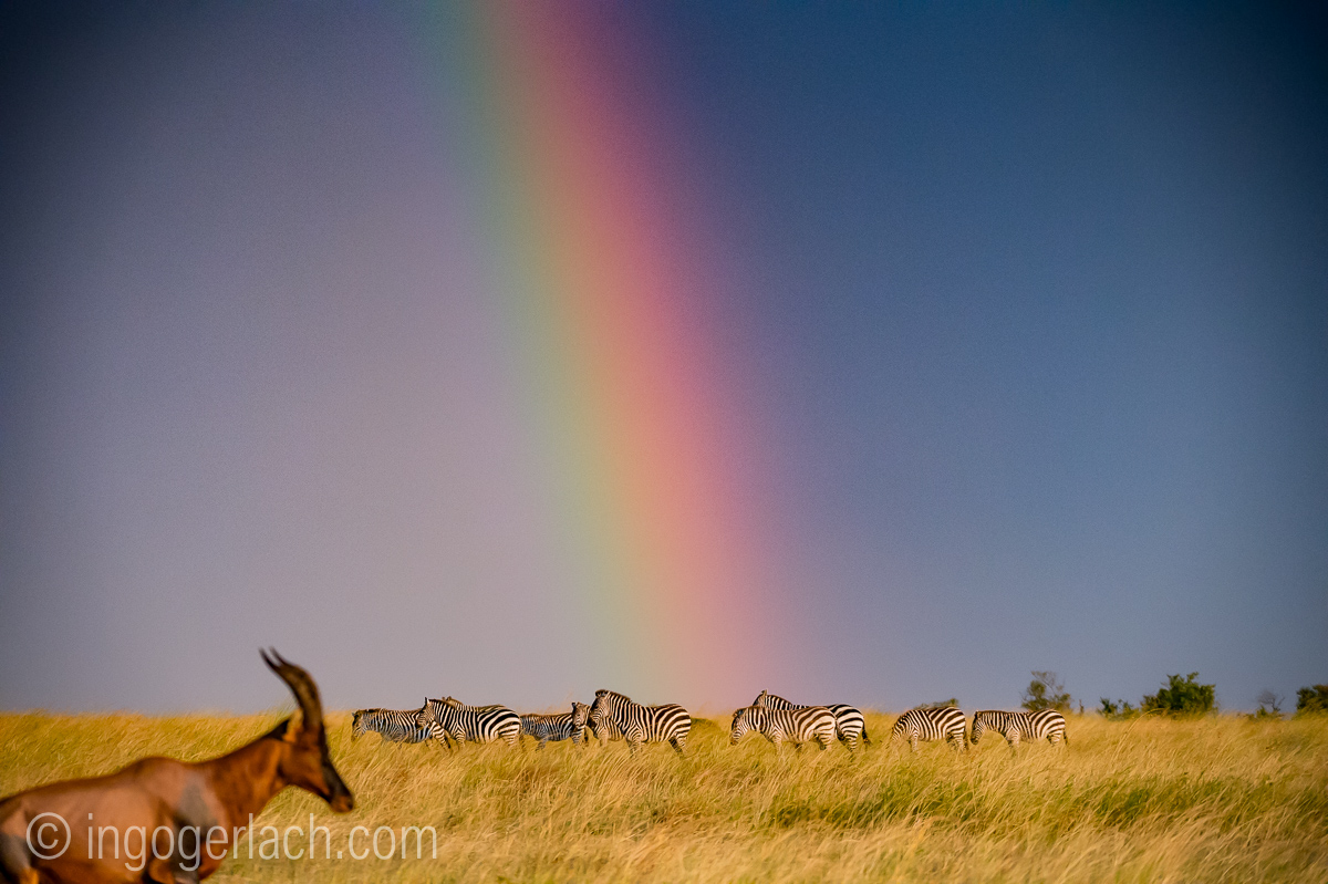 Over the Rainbow_Topi_Zebra_D4N_5232