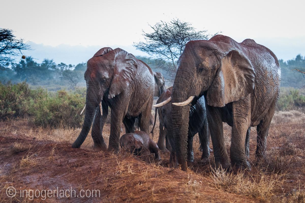 Elefanten im Regen_IGB7647