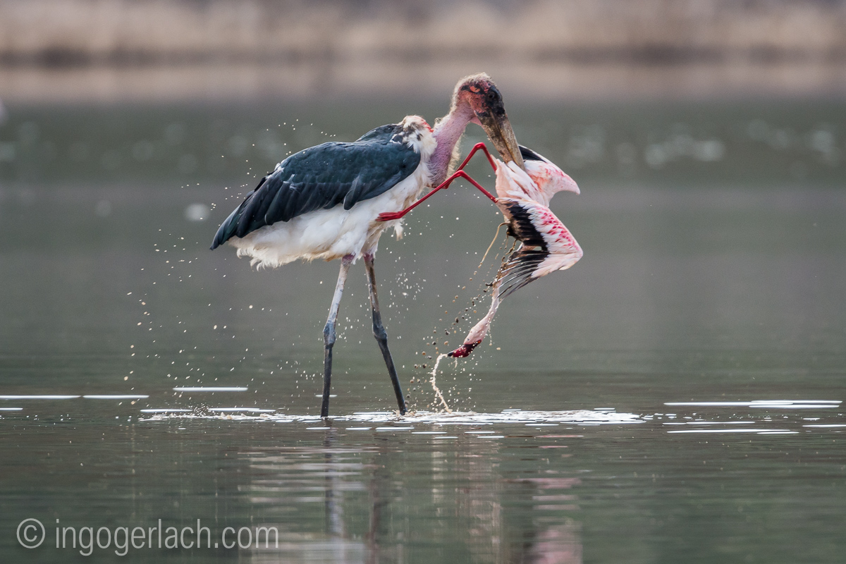 Marabu vs Flamingo_D722107