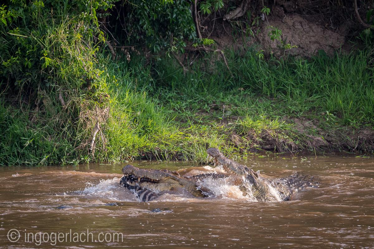 Krokodil frisst Zebra_D4N_5064